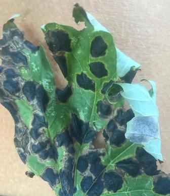 Village of Park Forest Recreation and Parks Department Responds to Inquiries on Black-Spotted Leaves